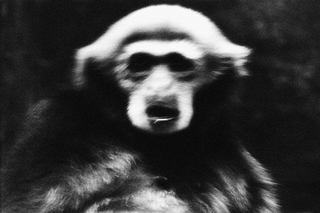 黑白抽象动物摄影 猴