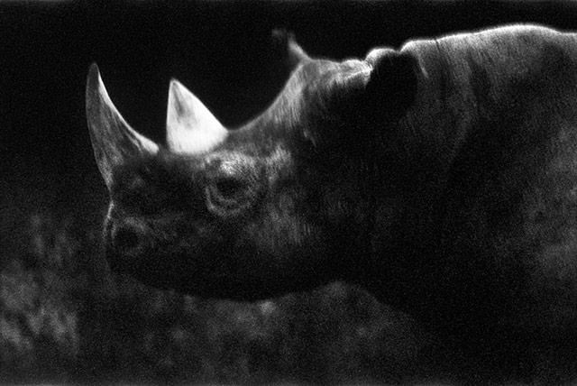 黑白抽象动物摄影 犀牛