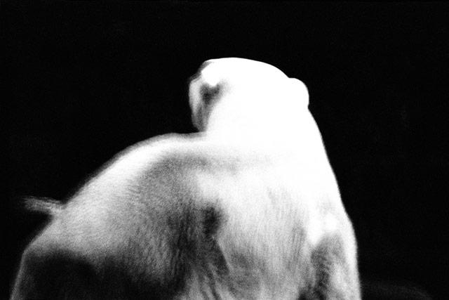 黑白抽象动物摄影 - 北极熊