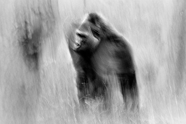 黑白抽象动物摄影 - 猩猩