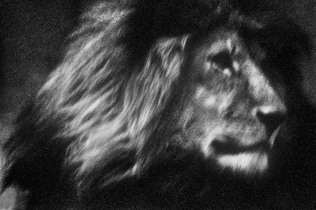 黑白抽象动物摄影 狮