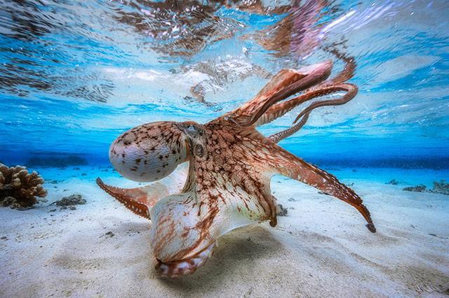 跳舞的章鱼