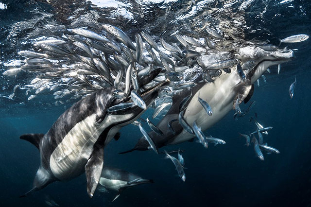 捕猎中的海豚 摄于南非海域