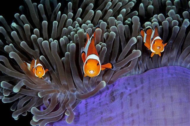 """这张照片极具戏剧性:三只小丑鱼,六只眼睛齐齐望向镜头,如同""""摆拍""""。另外注意寄生在小丑鱼口中的缩头鱼虱:"""