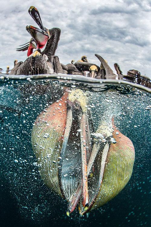 塘鹅的水中争斗