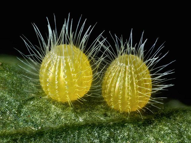 树叶上,某种蝴蝶的卵(7.5倍) Photograph: David Millard