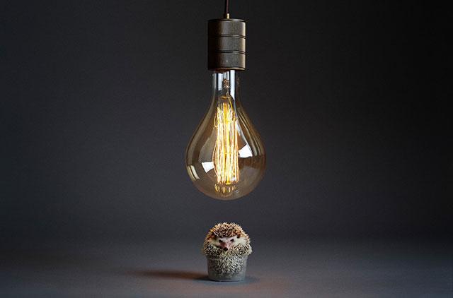 灯泡下的俾格米刺猬