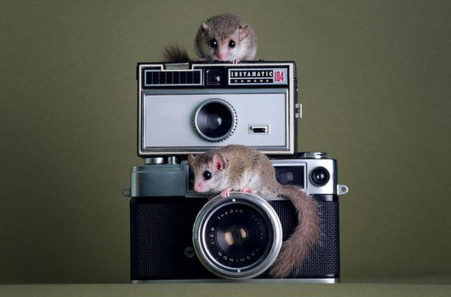 两只小榛睡鼠在相机上玩耍