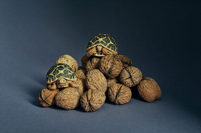 印度星斑陆龟