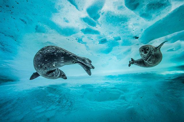 早春的北冰洋海冰之下,母亲在训练自己的宝宝学习冰下技能。by Laurent Ballesta (France)