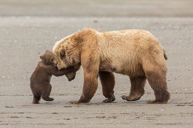 在潮水低的时候捕鱼完毕,棕熊妈妈准备返回草地,但是她的宝宝想留下来继续玩,所以顶着妈妈的脑袋想阻止她离开。by Ashleigh Scully (US)