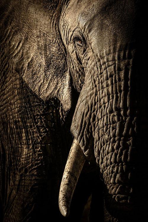 肯尼亚,率领象群艰苦跋涉寻找水源的头领母象。by David Lloyd (New Zealand/UK)