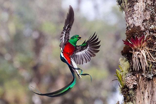 一只漂亮的凤尾绿咬鹃(Resplendent quetzal)by Tyohar Kastiel (Israel)