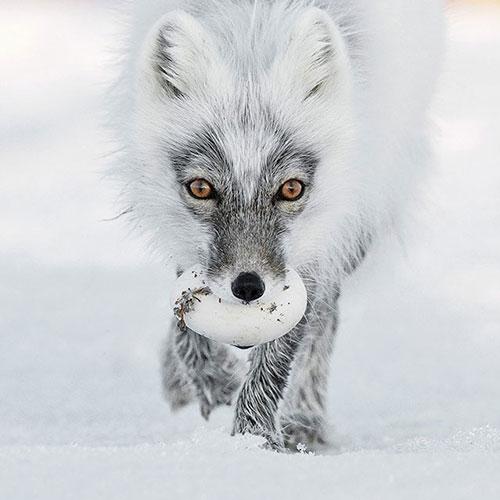 一只捕到鹅蛋的北极狐。by Sergey Gorshkov (Russia)