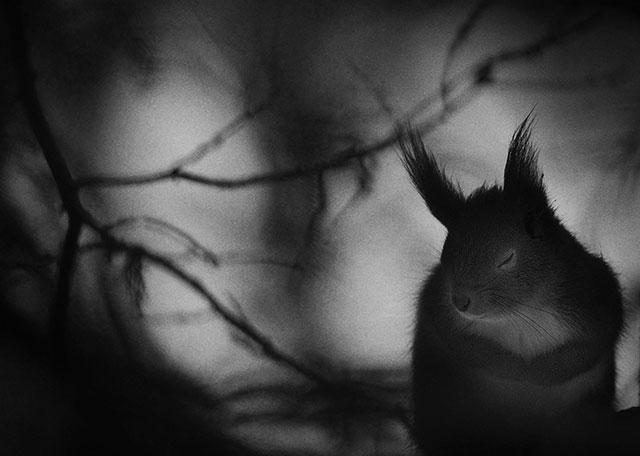 寒冷的一月的早晨,一只抄起爪子,闭上眼睛的松鼠。by Mats Andersson (Sweden)