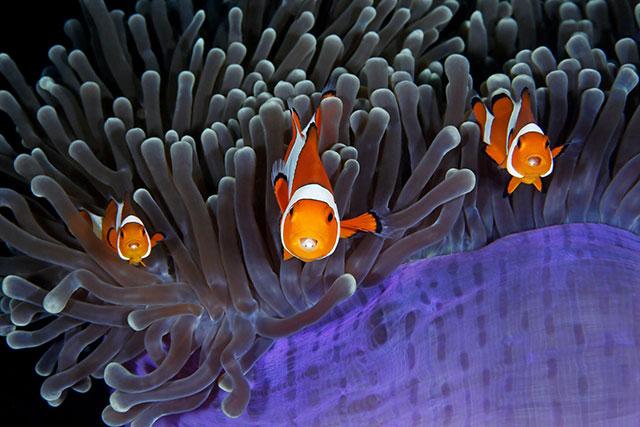 你能看到,每只小丑鱼嘴中都寄生着一只缩头鱼虱。by Qing Lin (China)